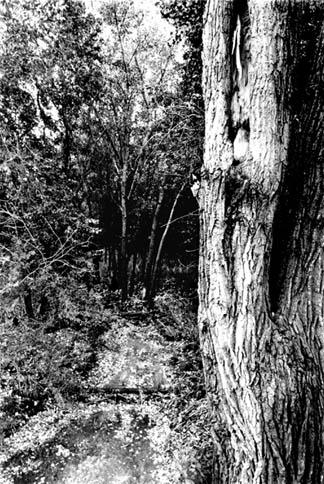 greywood